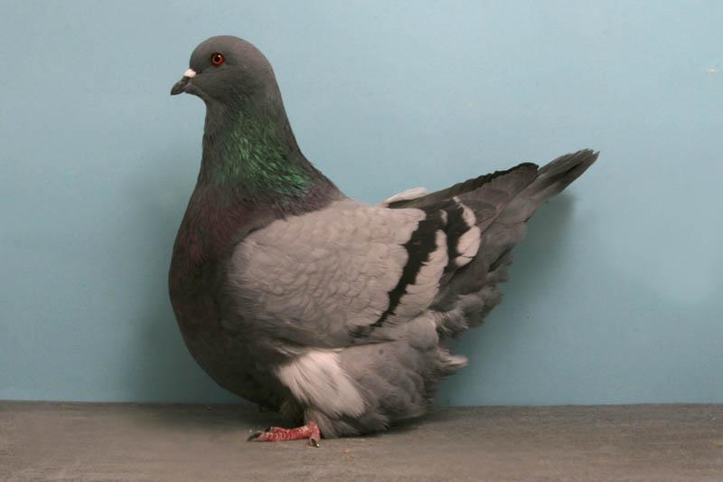 2244 30 голубей чемпионов