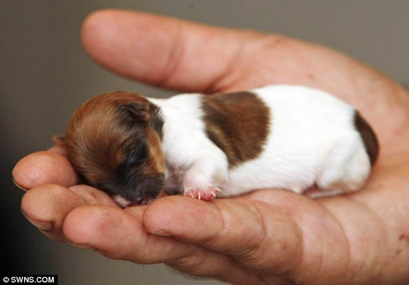 Микро-щенок по кличке Чудо