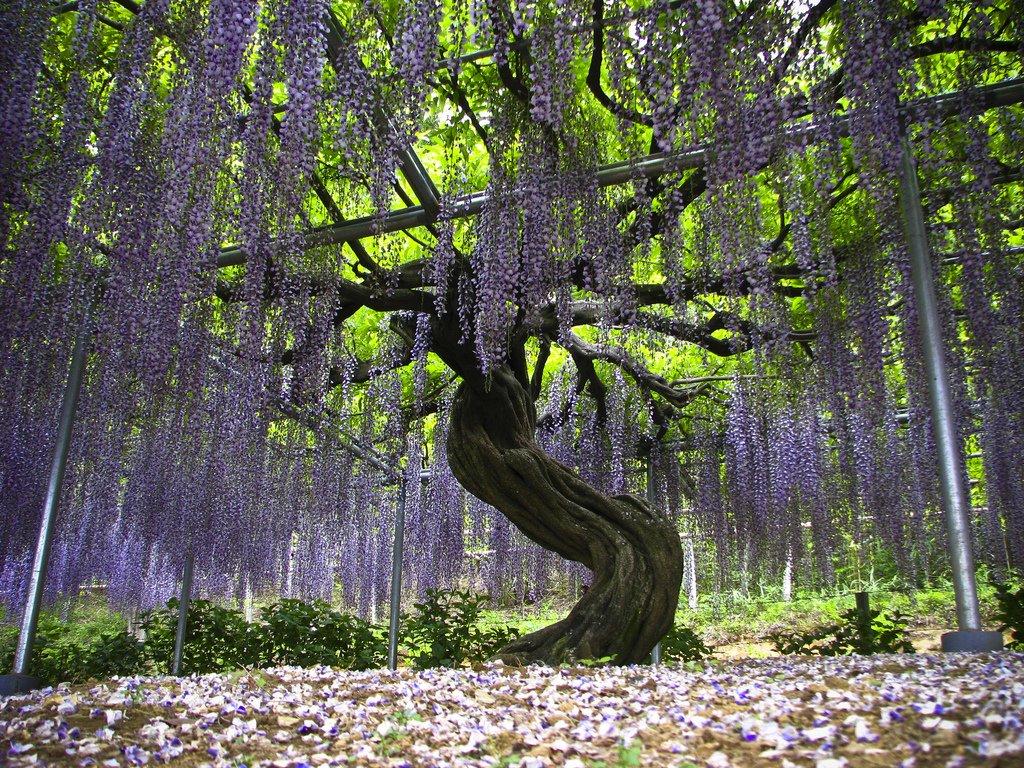 2305 Парк цветов Асикага