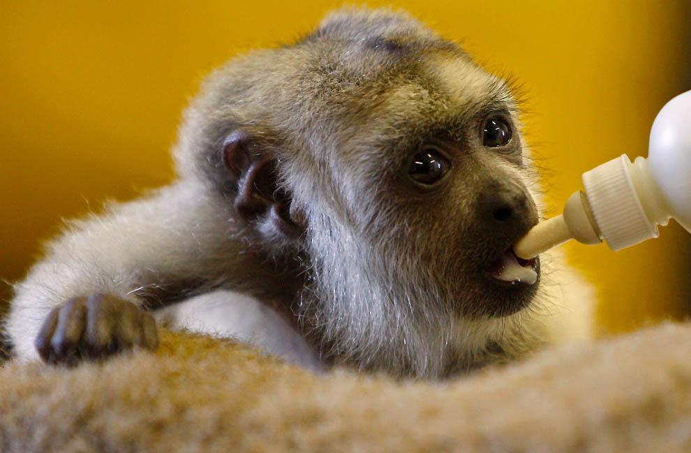 2407 Маленькая обезьянка ревун
