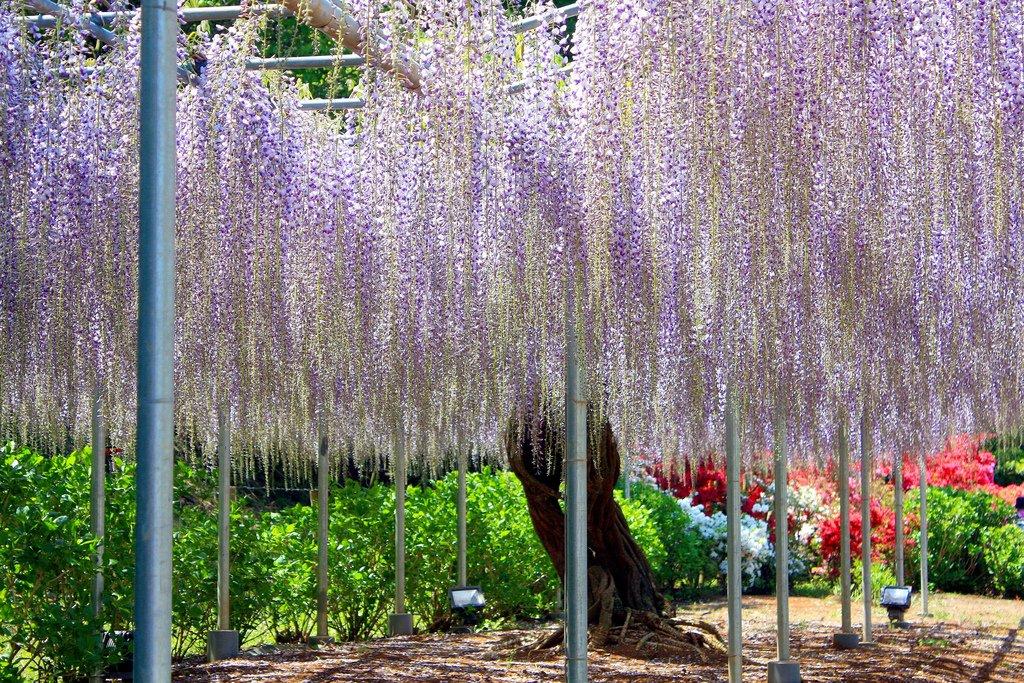2457 Парк цветов Асикага
