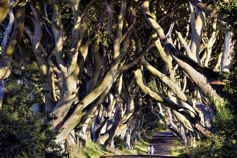 249 Древесный тоннель   аллея из буков в Ирландии