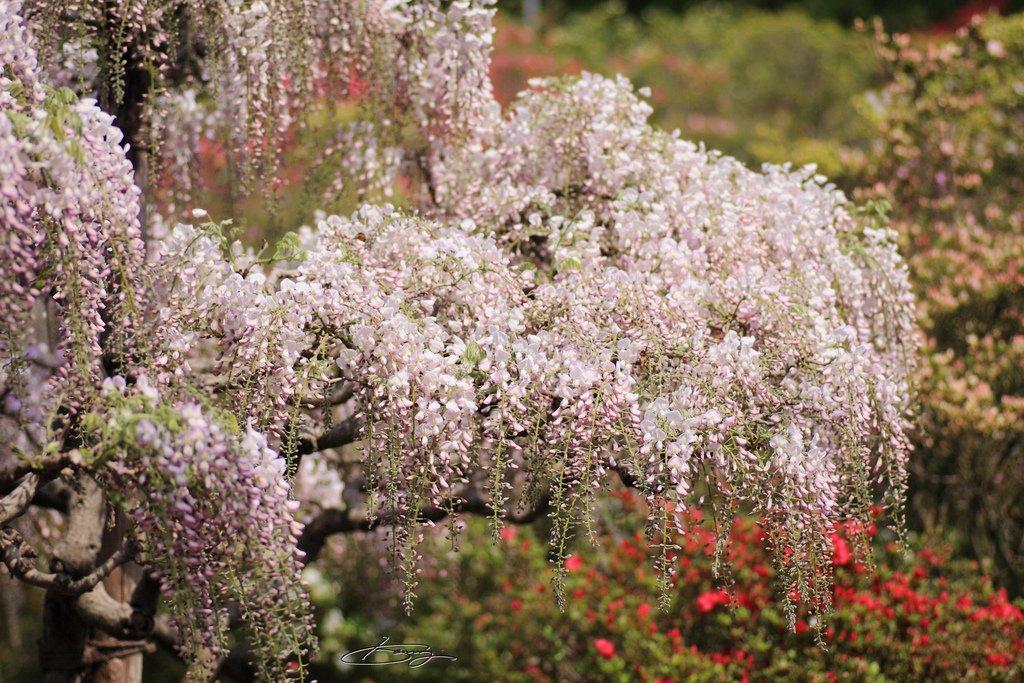 2555 Парк цветов Асикага