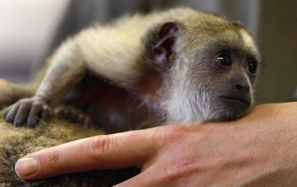3266 Маленькая обезьянка ревун