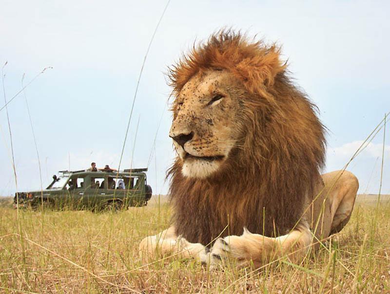 36 Львы крупным планом