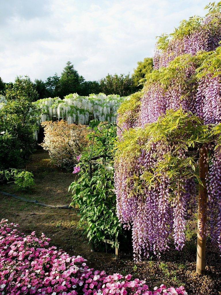 3621 Парк цветов Асикага