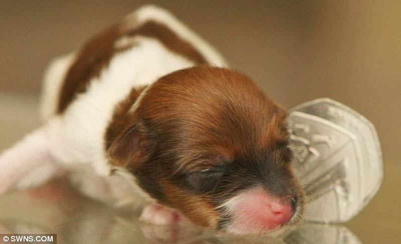 4152 Микро щенок по кличке Чудо