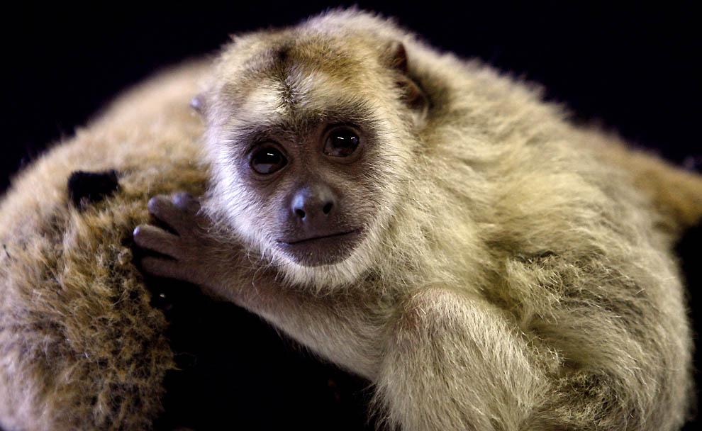 4226 Маленькая обезьянка ревун