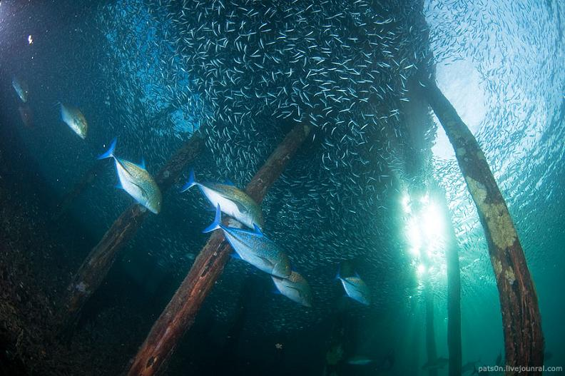 436 15 удивительных косяков рыбы