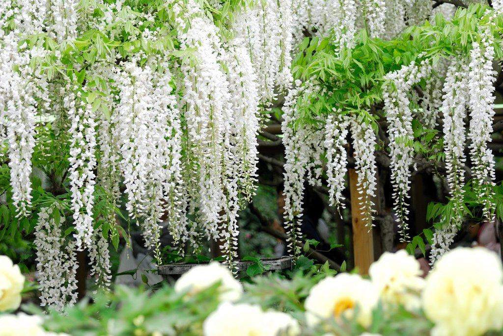 5158 Парк цветов Асикага