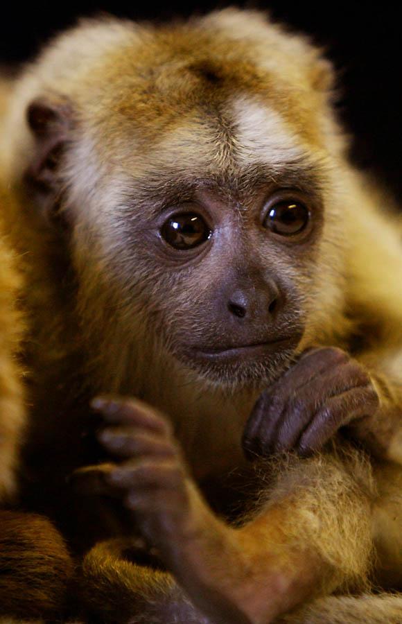 5197 Маленькая обезьянка ревун