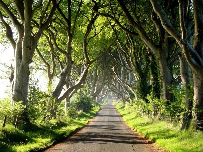 521 Древесный тоннель   аллея из буков в Ирландии