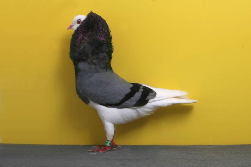 597 30 голубей чемпионов
