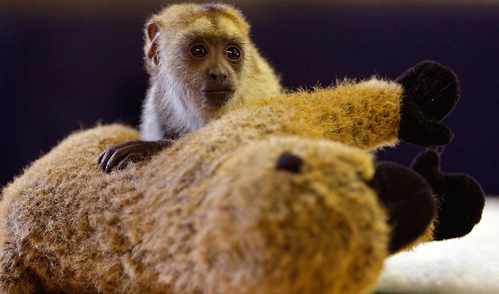 6196 Маленькая обезьянка ревун