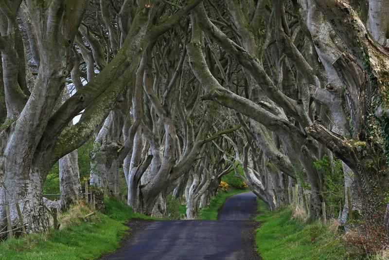 621 Древесный тоннель   аллея из буков в Ирландии