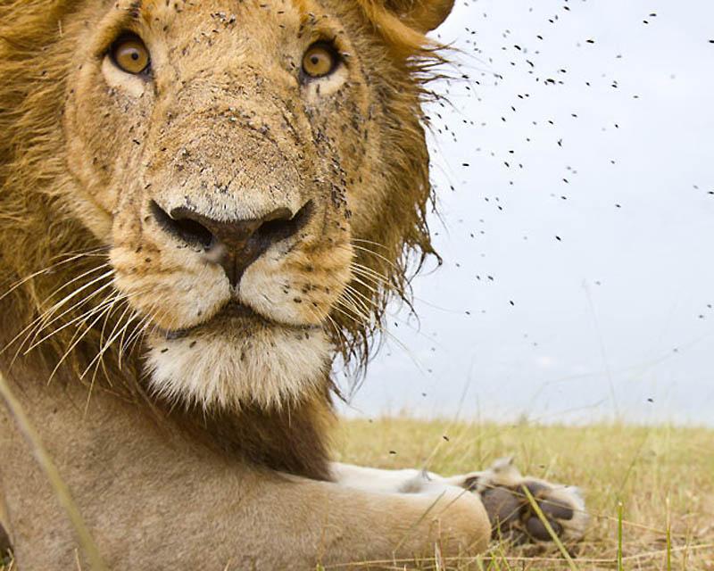 66 Львы крупным планом