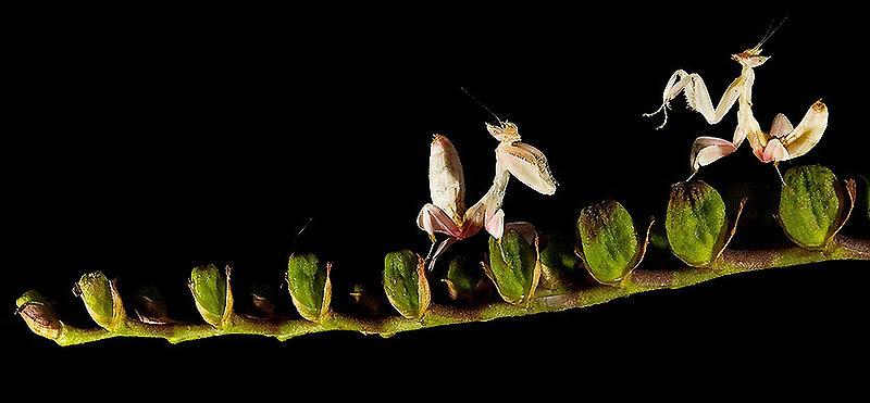 7104 Орхидейные богомолы