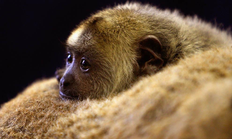 7188 Маленькая обезьянка ревун