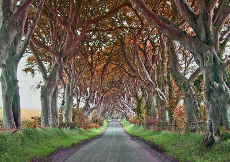 721 Древесный тоннель   аллея из буков в Ирландии