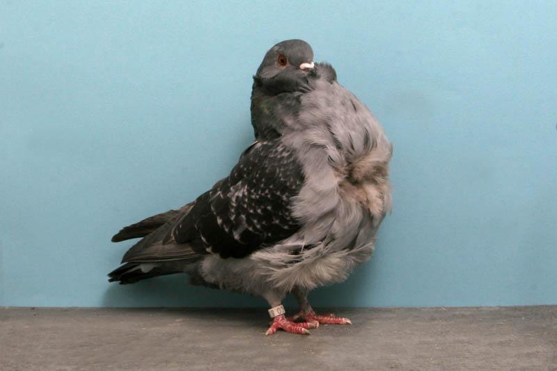 795 30 голубей чемпионов