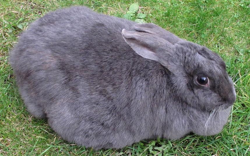 Как называются беременные кролики