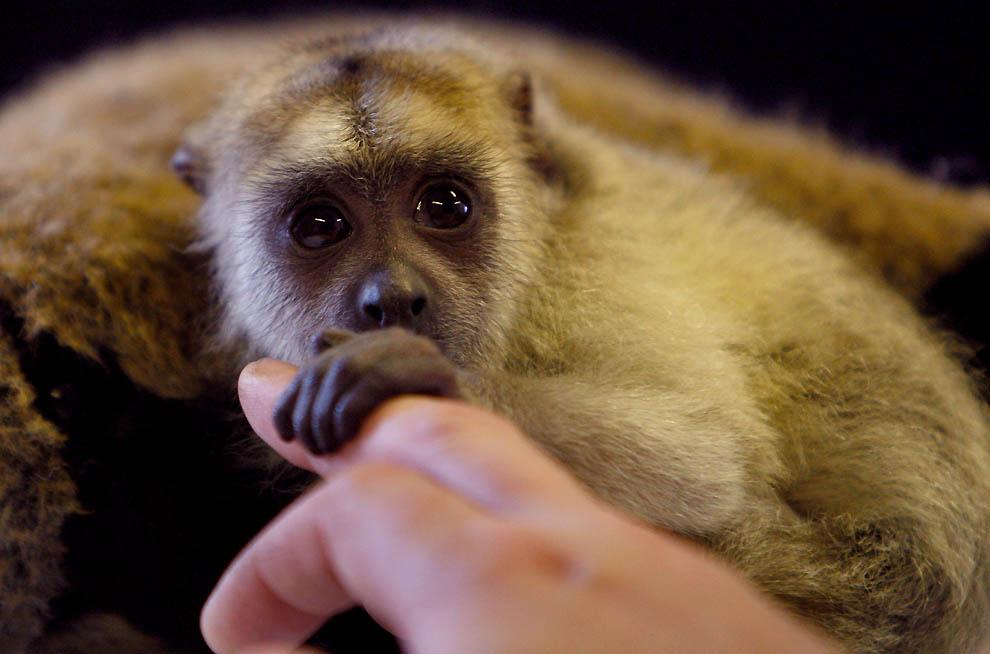 8183 Маленькая обезьянка ревун