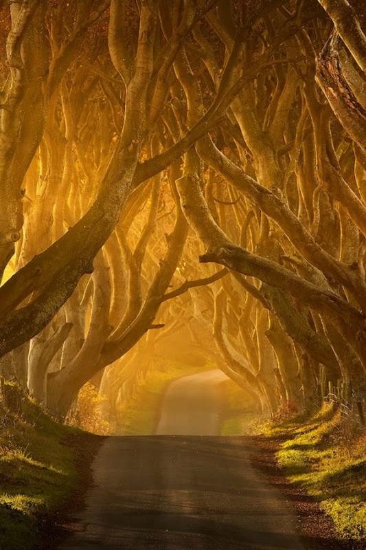 820 Древесный тоннель   аллея из буков в Ирландии