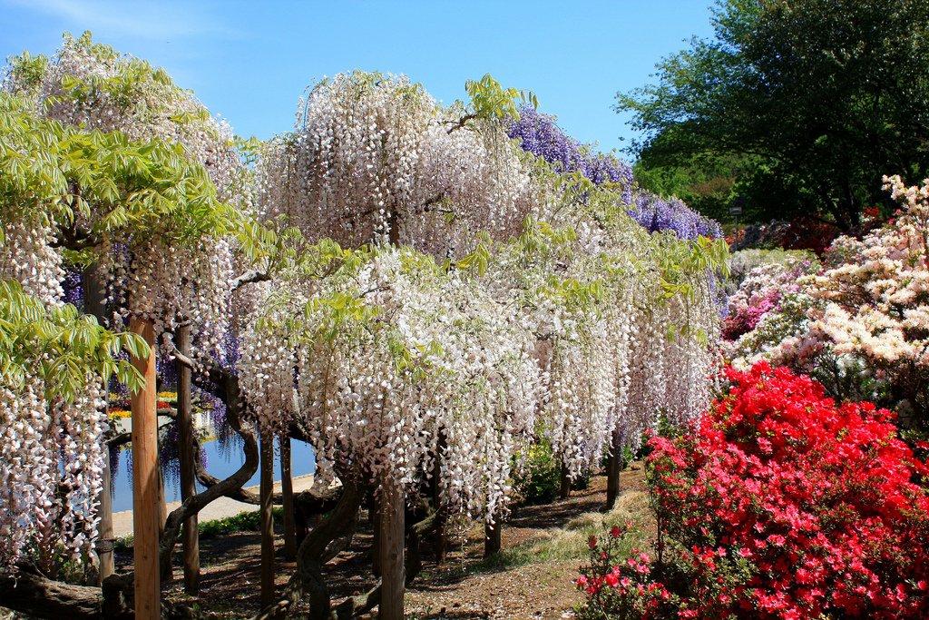 9142 Парк цветов Асикага