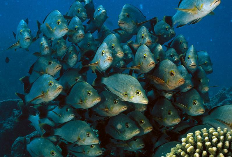 928 15 удивительных косяков рыбы