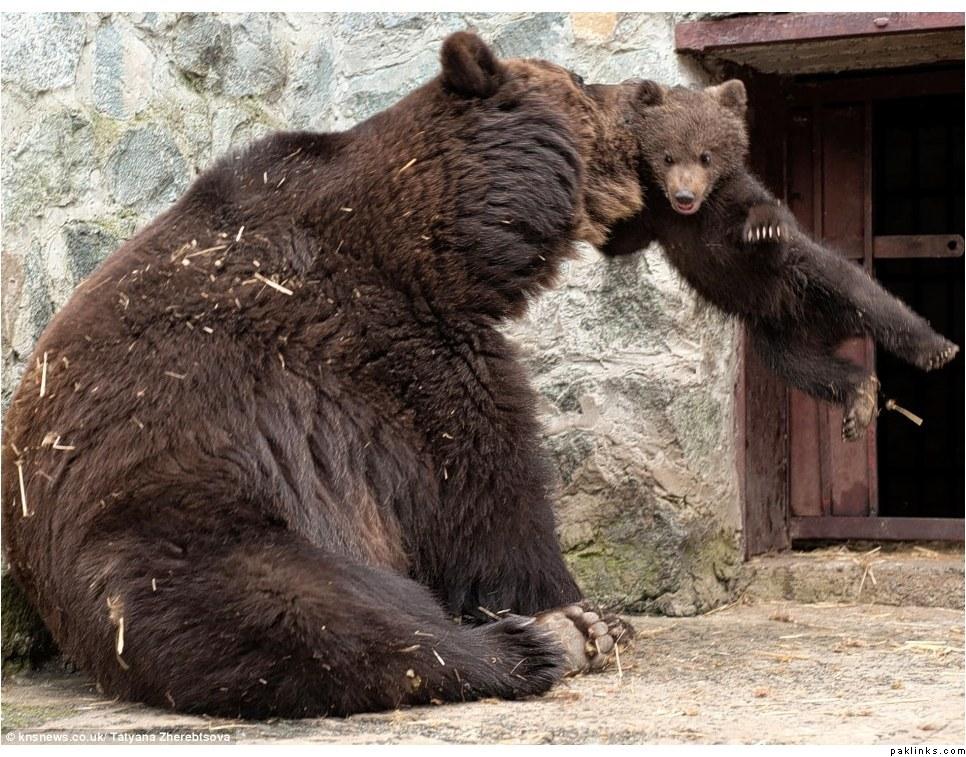 942856042874208 Воспитание по медвежьи