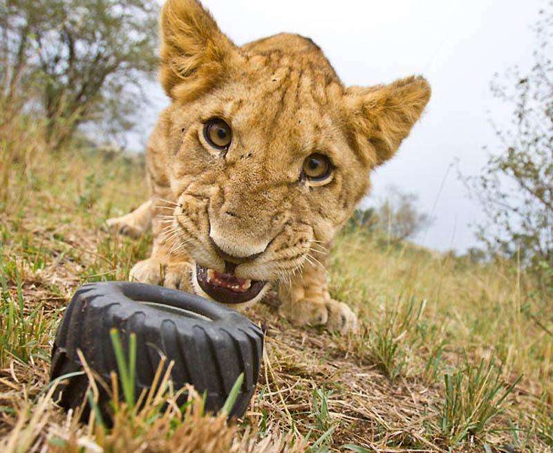 95 Львы крупным планом