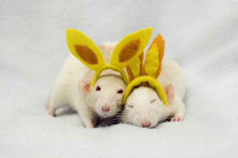 BIGPIC21 Милые крыски