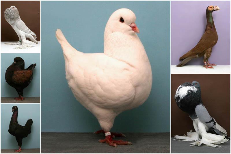 30 голубей-чемпионов