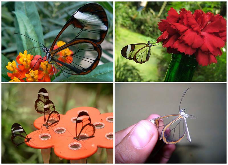 BIGPIC45 Greta oto   удивительная бабочка со стеклянными крыльями