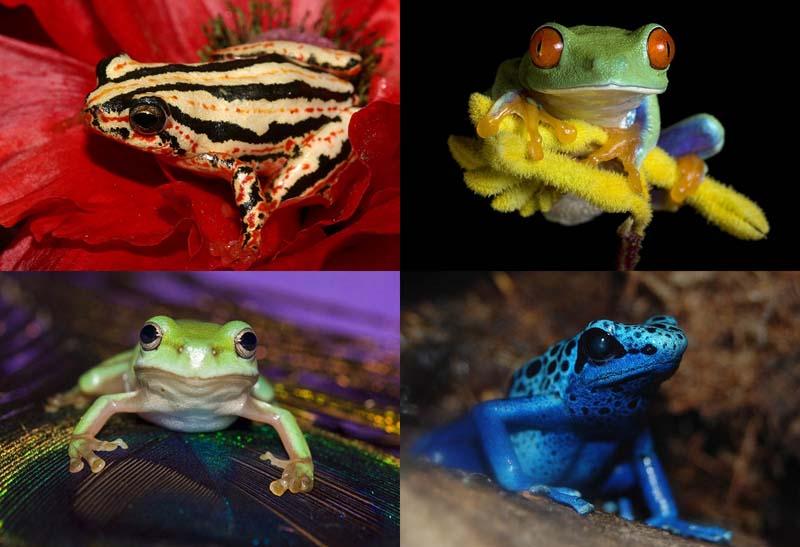 BIGPIC7 Несколько фактов о лягушках