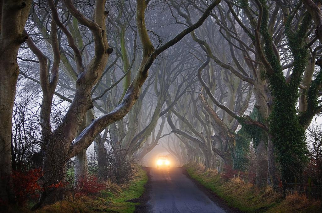 Dark Hedges03 Древесный тоннель   аллея из буков в Ирландии