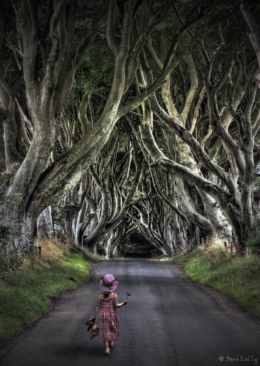 Dark Hedges04 Древесный тоннель   аллея из буков в Ирландии