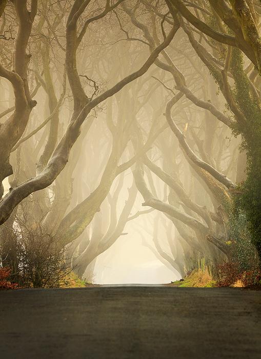 Dark Hedges08 Древесный тоннель   аллея из буков в Ирландии