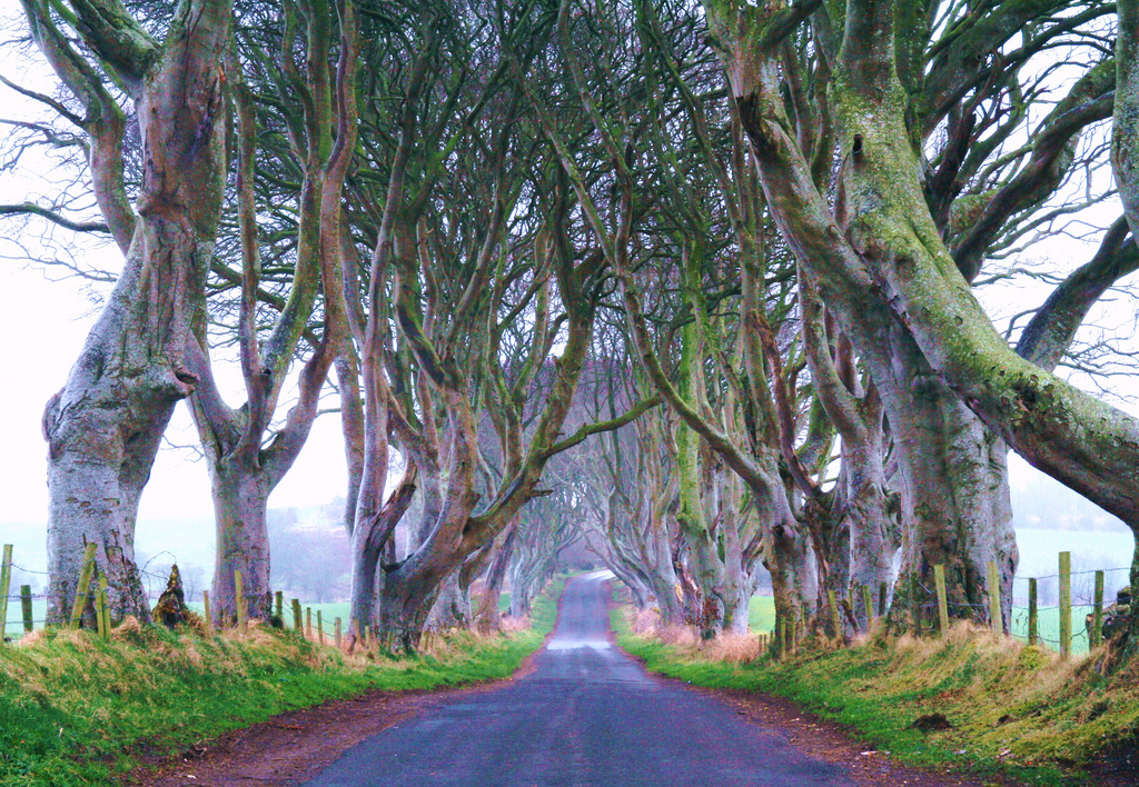 Dark Hedges09 Древесный тоннель   аллея из буков в Ирландии