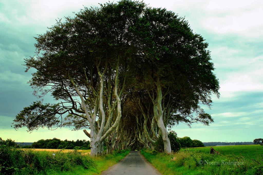Dark Hedges10 Древесный тоннель   аллея из буков в Ирландии