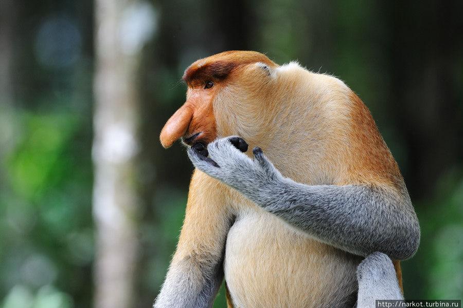big.photo  Эмоциональные обезьяны носачи