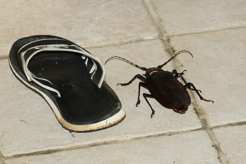 bug03 Самый большой в мире жук