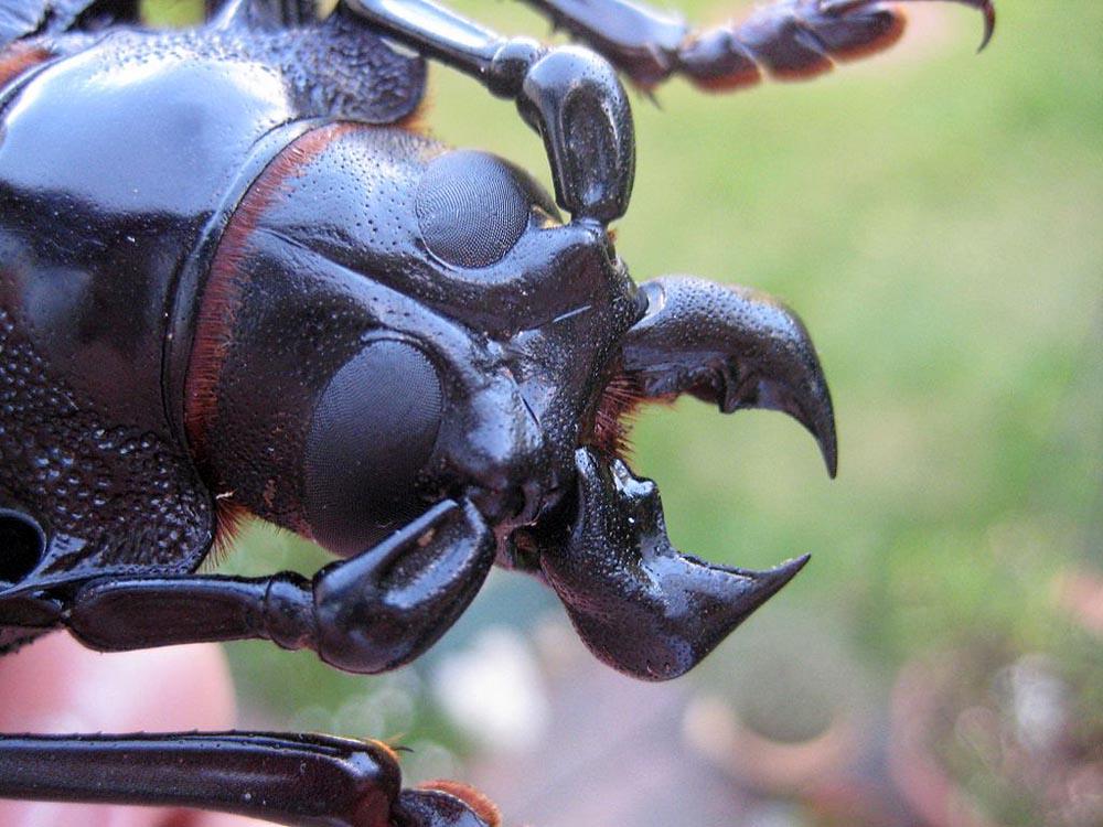 bug09 Самый большой в мире жук