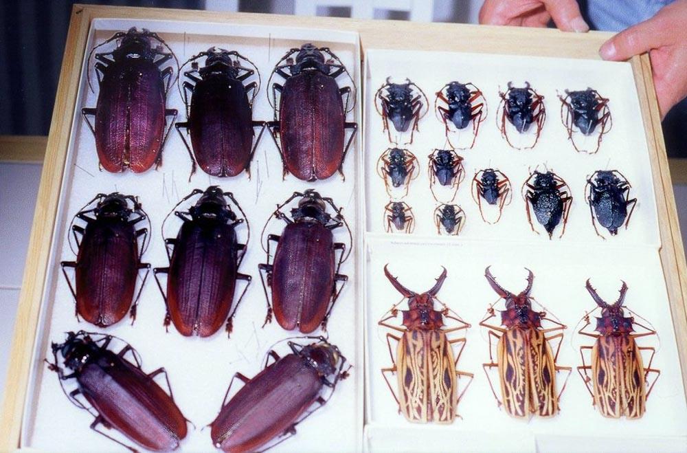 bug11 Самый большой в мире жук