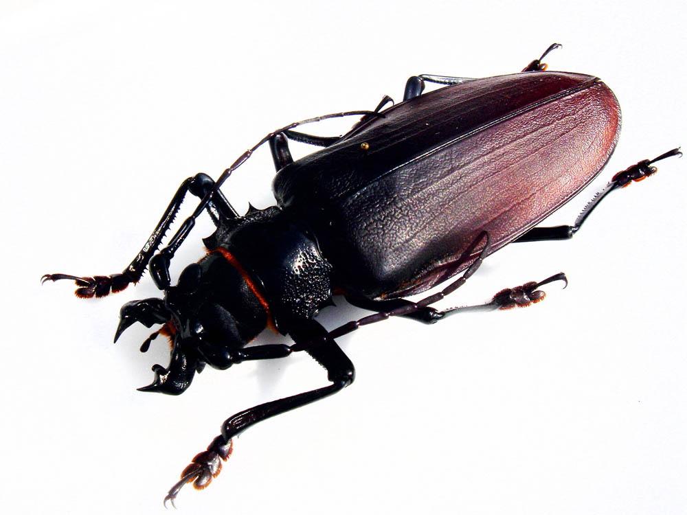 bug12 Самый большой в мире жук