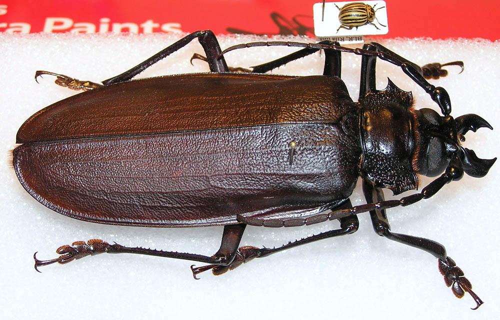 bug13 Самый большой в мире жук