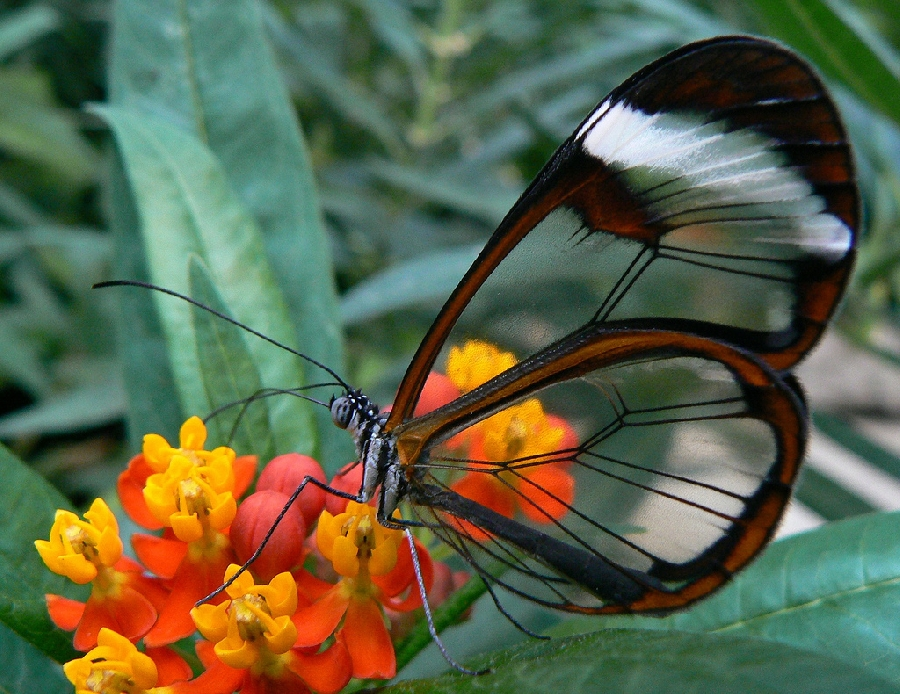 butterfly01 Greta oto   удивительная бабочка со стеклянными крыльями