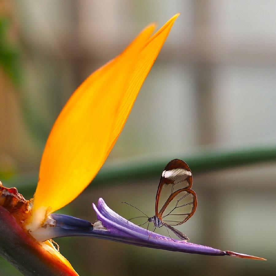 butterfly02 Greta oto   удивительная бабочка со стеклянными крыльями
