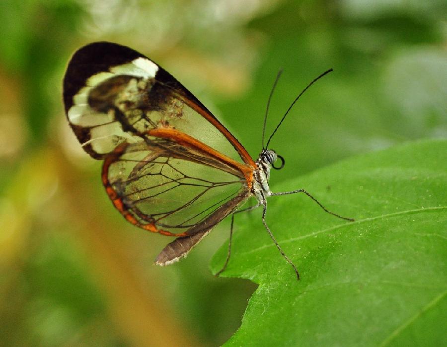 butterfly03 Greta oto   удивительная бабочка со стеклянными крыльями