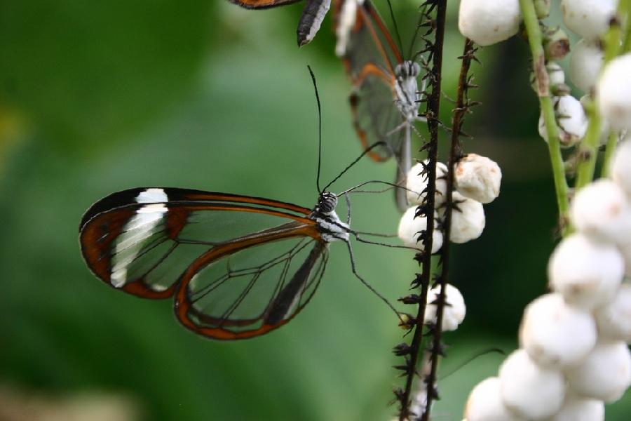 butterfly04 Greta oto   удивительная бабочка со стеклянными крыльями